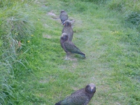 Kea at Aspiring hut - pretending to be innocent!